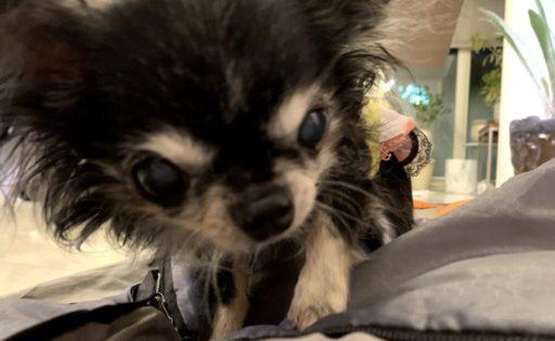 寝袋とチワワ(犬)