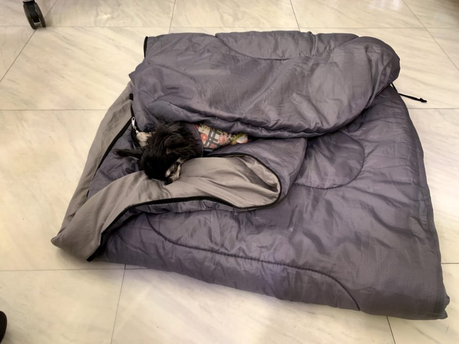 寝袋で熟睡する犬(チワワ)