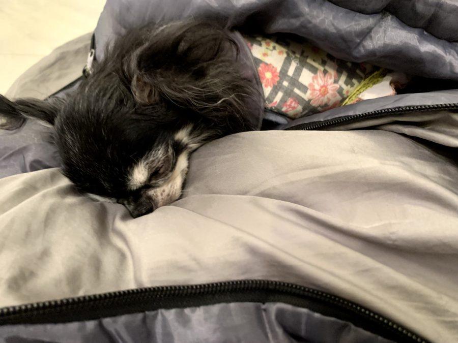 寝袋で寝る犬